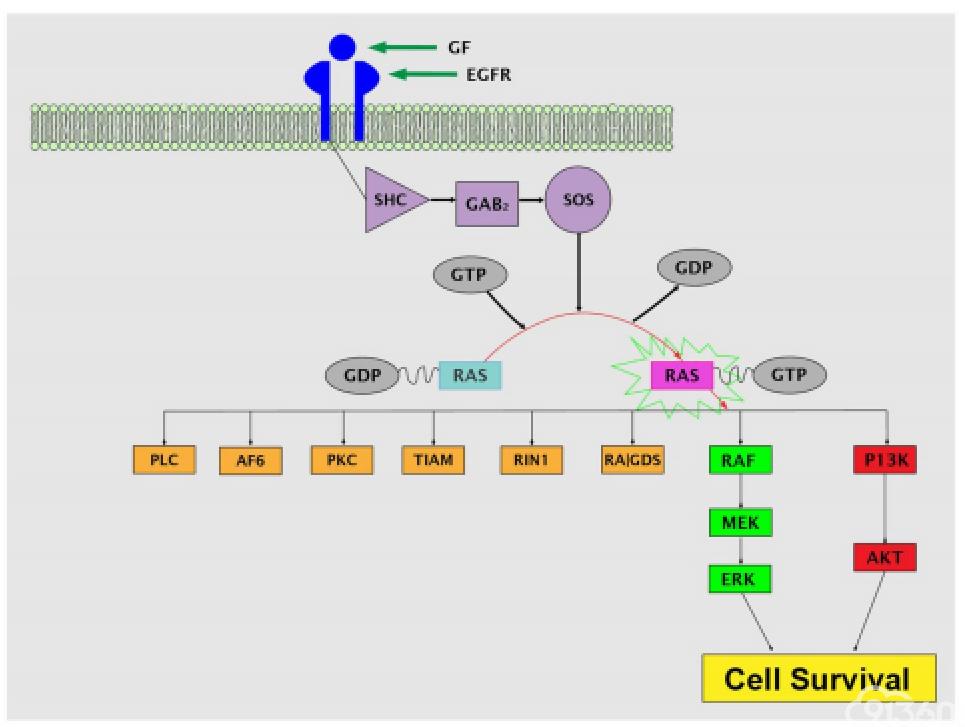 RAS基因在结直肠癌发病机制中的作用及其检测指南和治疗影响